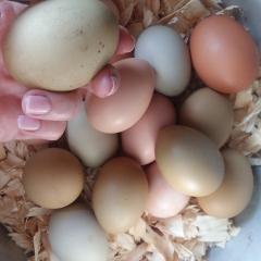 Egg season