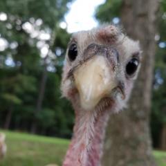Gertie the turkey poult