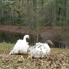 Geese header 1