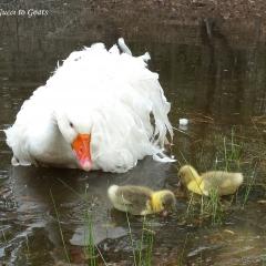 Geese header 2