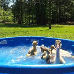 Sebastopol goslings