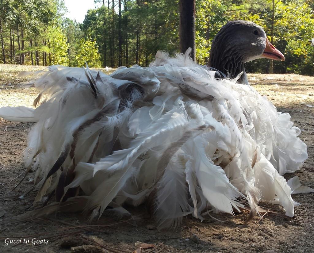 saddleback sebastopol goose