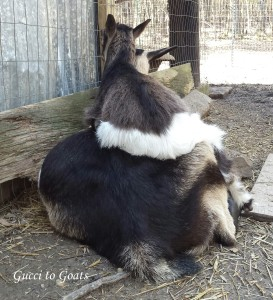 Baby goat on mom