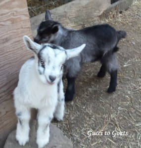 baby goat play