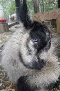 Mini Alpine Dairy Goat Kid