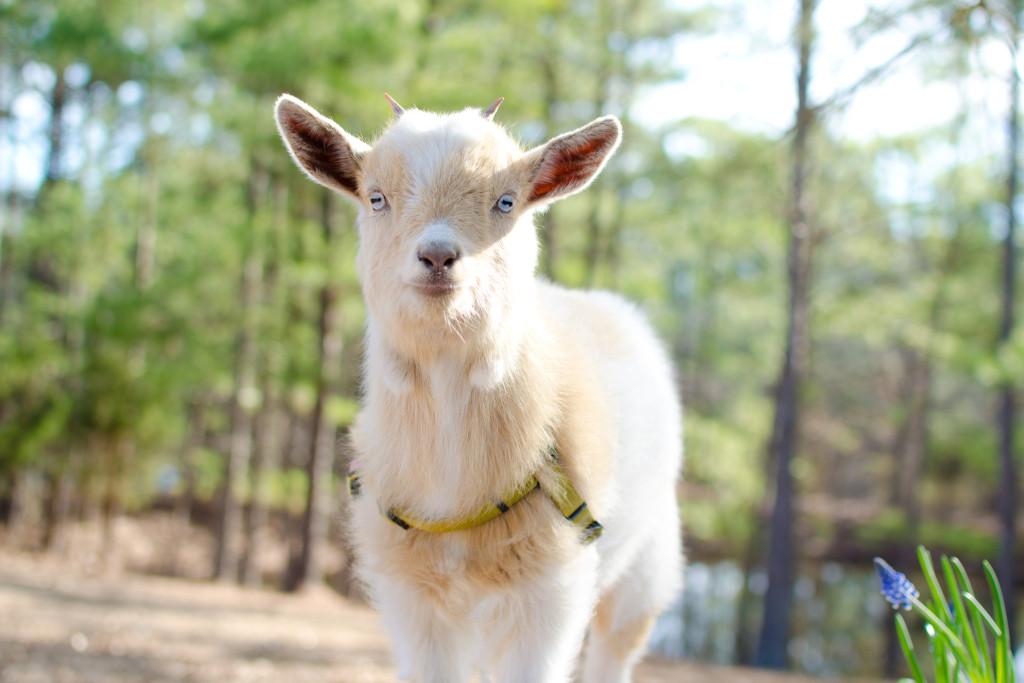 Ellie the goat