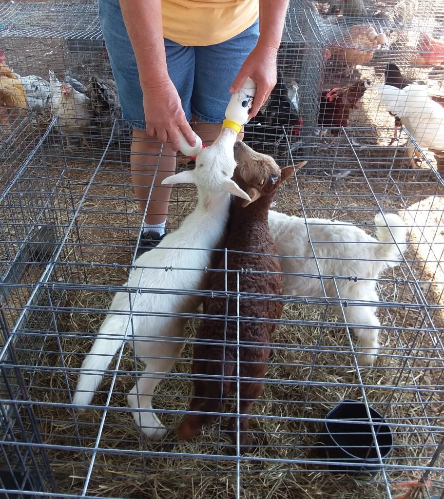 Flea market lambs