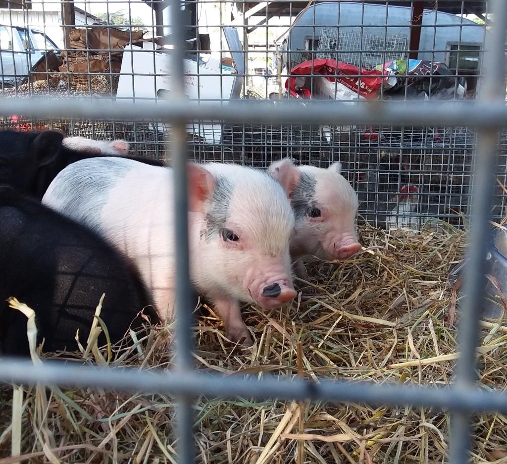 flea market - baby pigs