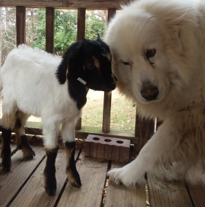 baby goat and dog