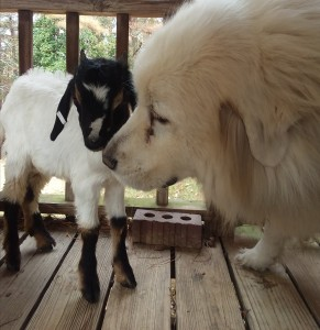baby goat with dog