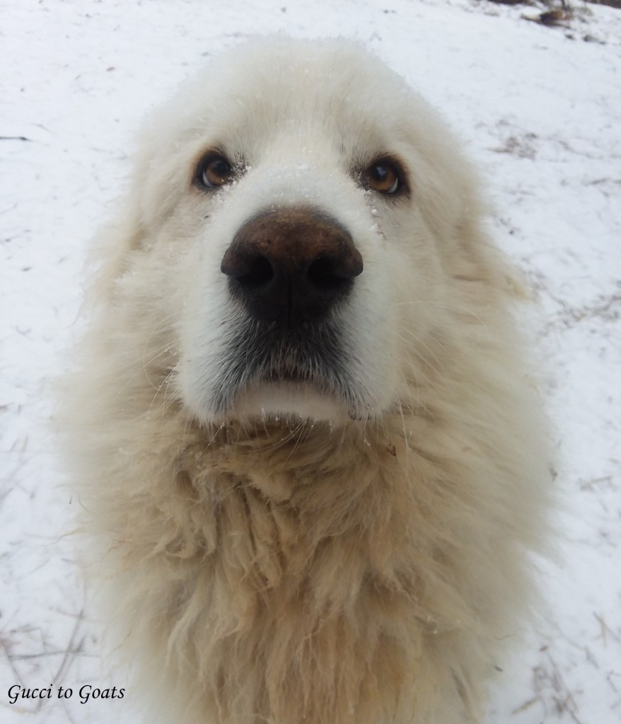 great pyrenees in snow