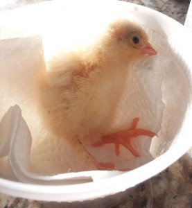weak baby chick