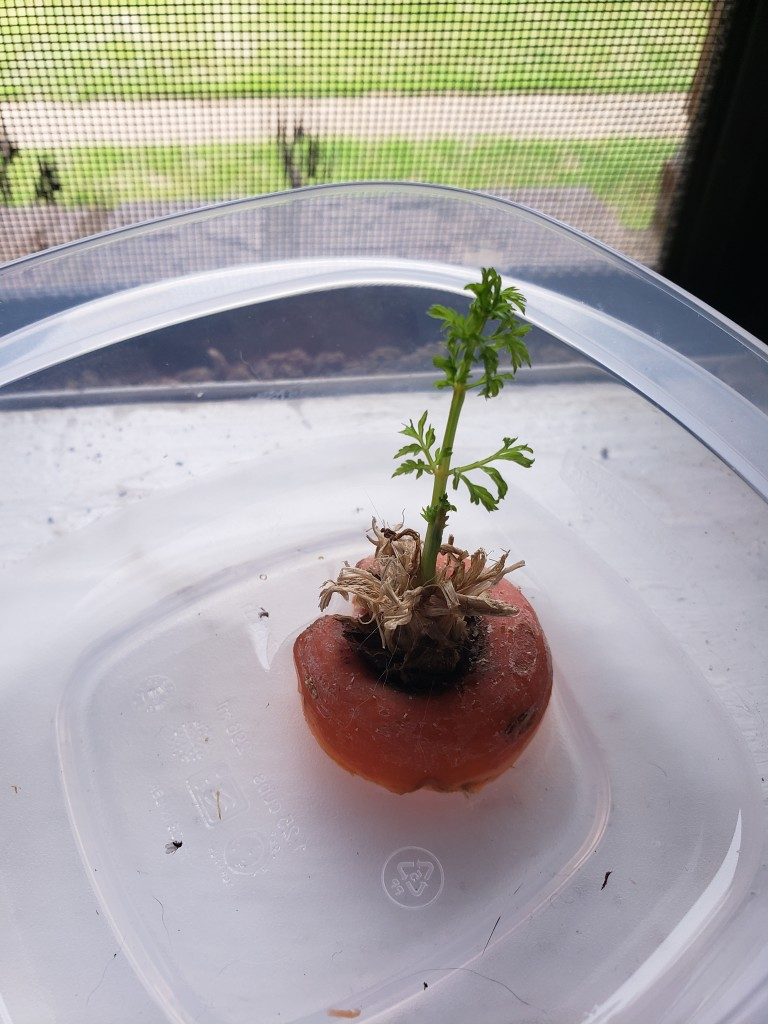 carrot after