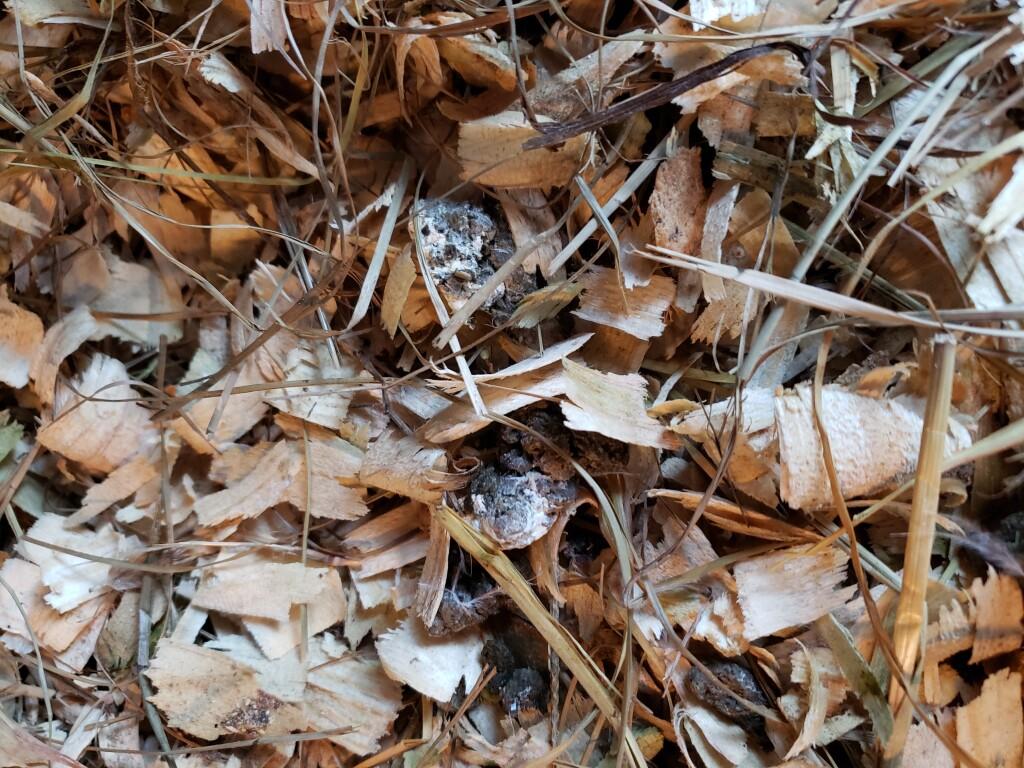 curing blackhead in turkeys